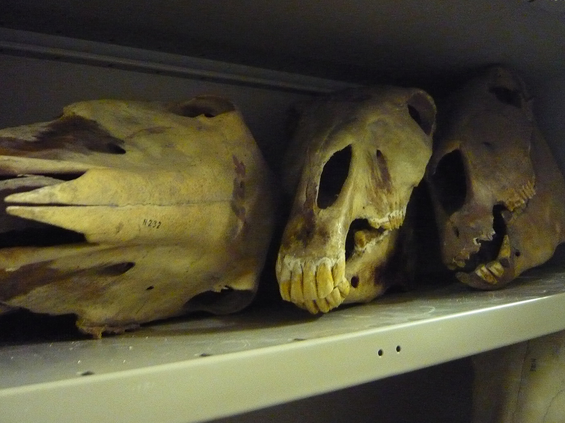 animal skulls arranged on a shelf in a cupboard