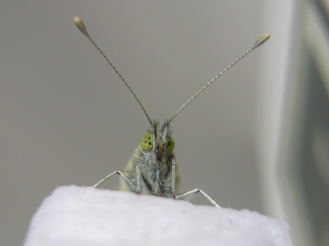 close-up of a butterfly's head, showing green eyes and longantennae
