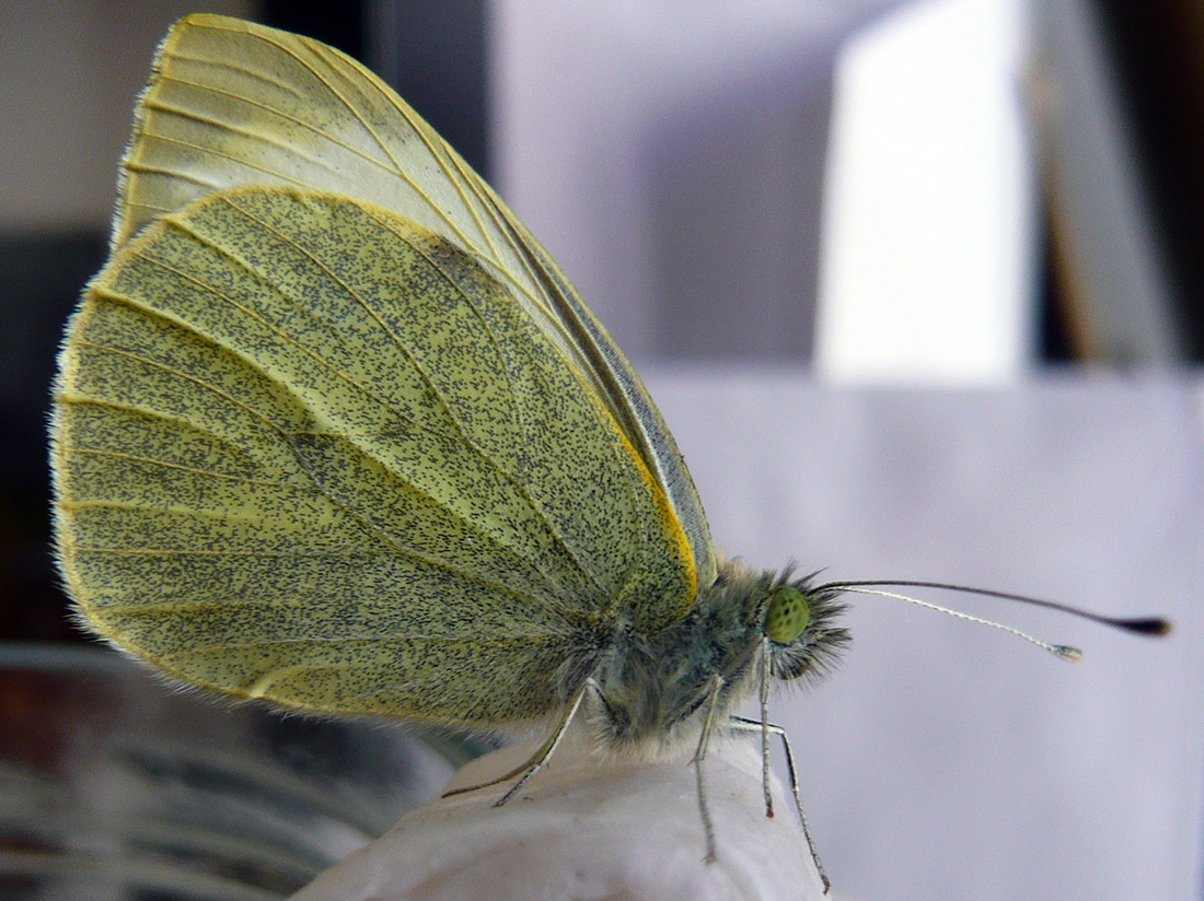 white butterfly after emerging from chrysalis