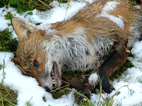 dead fox lying in the snow