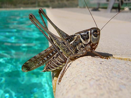 cricket resting on the side of a swimming pool  (un grillon à côté de la piscine)