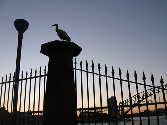large bird (white ibis) sitting on a fence and Sydney Harbour Bridge behind, silhouetted against a sunset