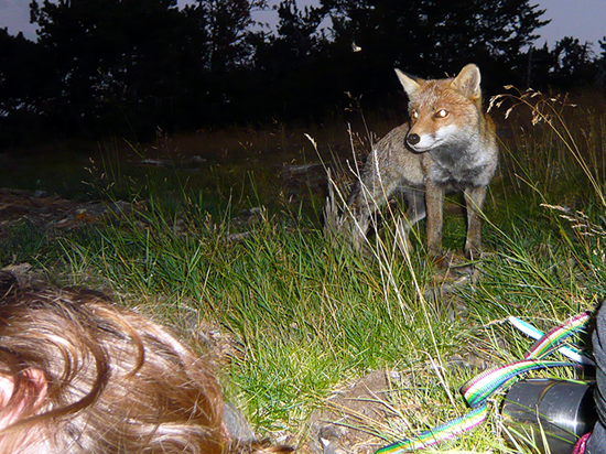 fox stalking a camp site and a sleeping woman