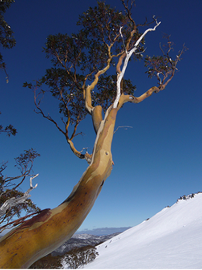 multi coloured bark of a snow gum (eucaliptus) tree against a blue sky, snow covered mountains in the background