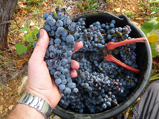 hand holding a bunch of mourvèdre grapes at a vendangee (grape harvest for wine makeing)