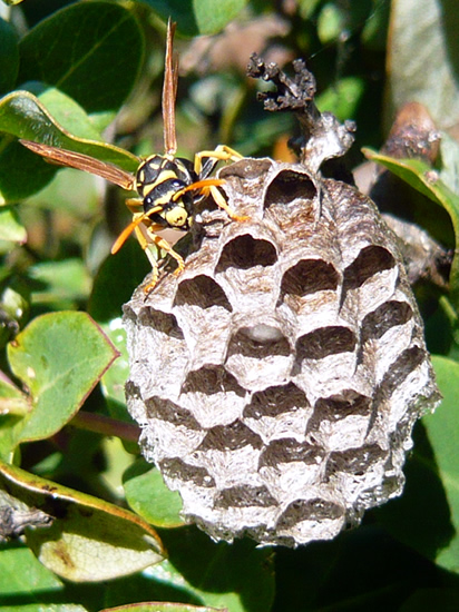 wasp on wasp's nest