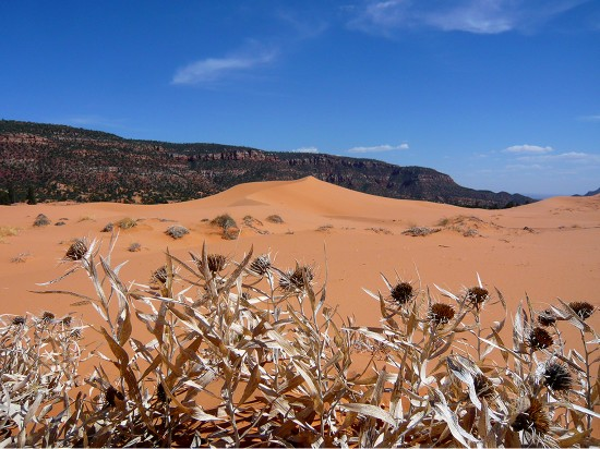 dry plants in forground, pink sand dunes with cliffs in distance against a blue sky