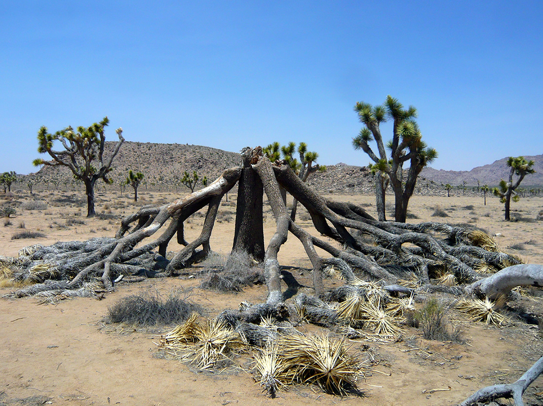 dead joshua tree limbs spread-out around the trunk