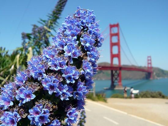 blue flowers (echium callithyrsum or Taginaste azul)  in for ground, san francisco's golden gate bridge out of focus in back ground