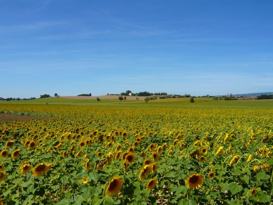 filed of sunflowers below a blue sky, a hill on the horizon