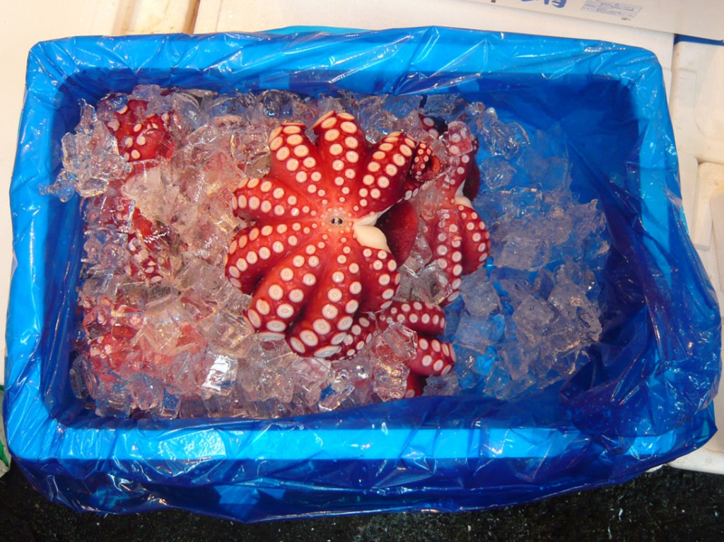 red octopus packed in ice against a blue plastic bag