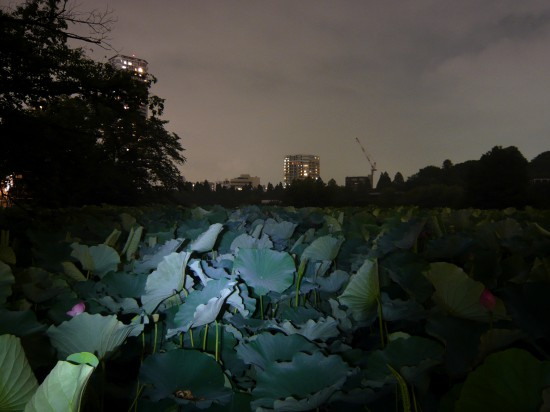 night scene - large lily pads in lit-up by a bike ligh, city skyline in the background